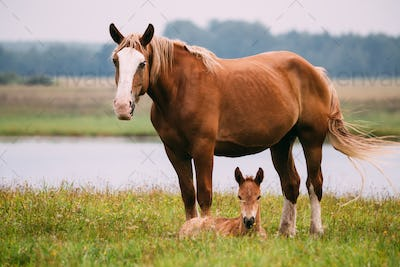 Adult Brown Horse And Foal Young Horse Grazing On Green Meadow N