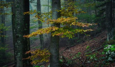 Mystic forest on a foggy day in autumn