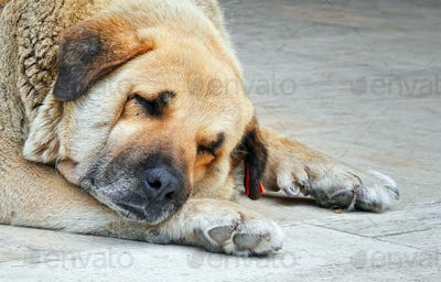 Dog is Sleeping on Stone Ground