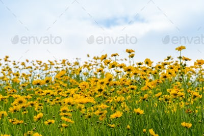 coreopsis flowers blooming with blue sky