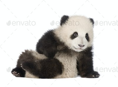Giant Panda (6 months) - Ailuropoda melanoleuca