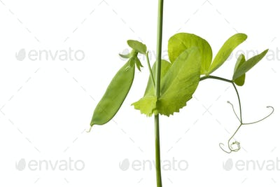 Growing green pea plant close up