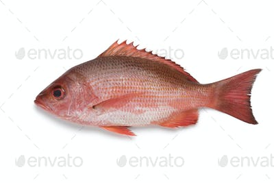 Single Northern red snapper