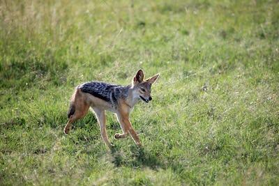Jackal - Maasai Mara Reserve - Kenya