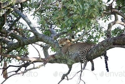 Leopard in Tree - Kenya