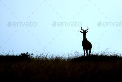 Topi - Maasai Mara Reserve - Kenya