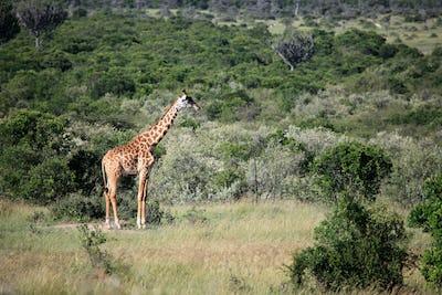 Giraffe - Maasai Mara Reserve - Kenya