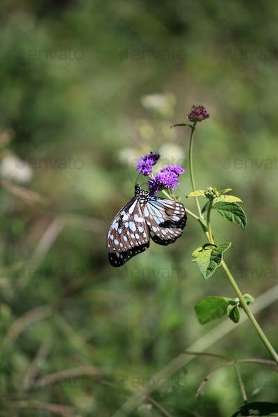 Butterfly - Maasai Mara Reserve - Kenya