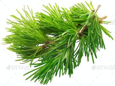 Branch of larch larix sibirica, paths