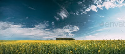 Blossom Of Canola Yellow Flowers Under Sunny Sky. Rape Plant, Ra