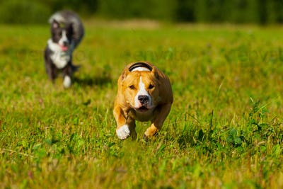 Friends. Dogs. Staffordshire terrier and border collie walking in a field. Sunny day. Summer