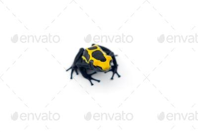 Blue-yellow poison dart frog isolated on white background