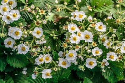 Strawberry flowers in the garden, top view