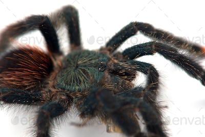 The Antilles pinktoe tarantula isolated on white background