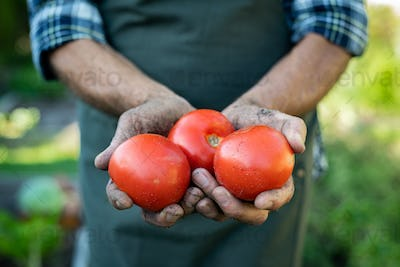 Farmer hands holding tomatoes