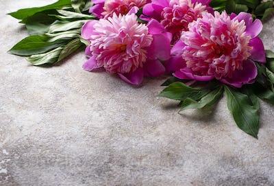 Pink peony flowers on light  background.