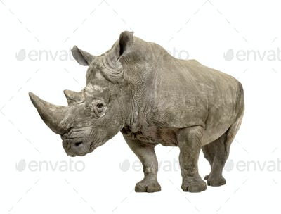 White Rhinoceros - Ceratotherium simum ( +/- 10 years)