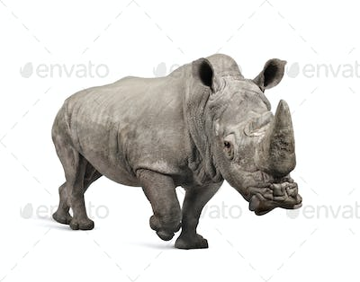 White Rhinoceros charging - Ceratotherium simum ( +/- 10 years)