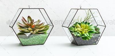 Succulent plants in two florariums