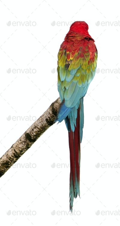 Green-winged Macaw - Ara chloropterus (18 months)