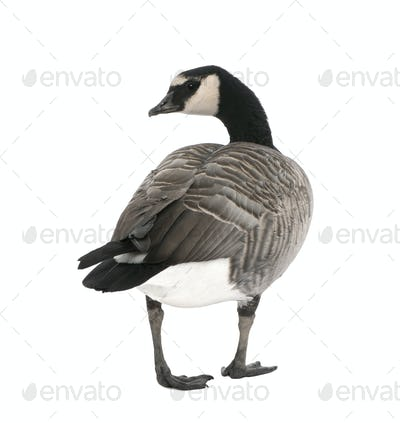 Mixed-Breed goose between Canada Goose and Barnacle Goose  (+/-