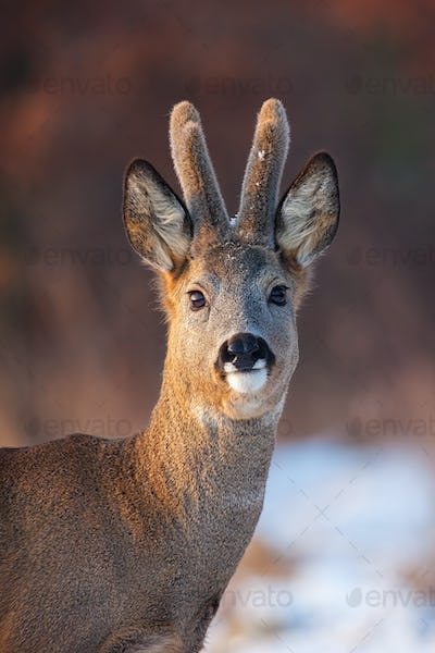 Portrait of roe deer, capreolus capreolus, buck in winter