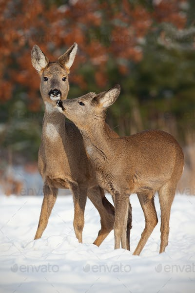Mother and son roe deer, capreolus capreolus, in deep snow in winter kissing