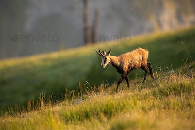 Alpine chamois, rupicapra rupicapra, in the mountains at sunset