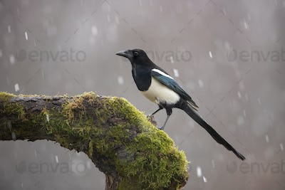 Eurasian Magpie on moss covered branch in winter in snowfall