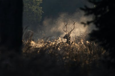 Red deer stag in morning autumn mist