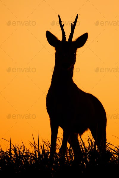 Roe deer, capreolus capreolus, male buck silhouette