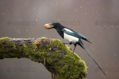 Eurasian Magpie on moss covered branch in winter in snowfall with nut in beak