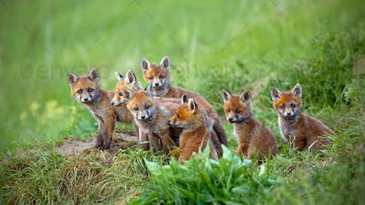 Red fox, vulpes vulpes, cubs sitting by the den