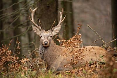 Red deer, cervus elaphus, lying in the autumn forest