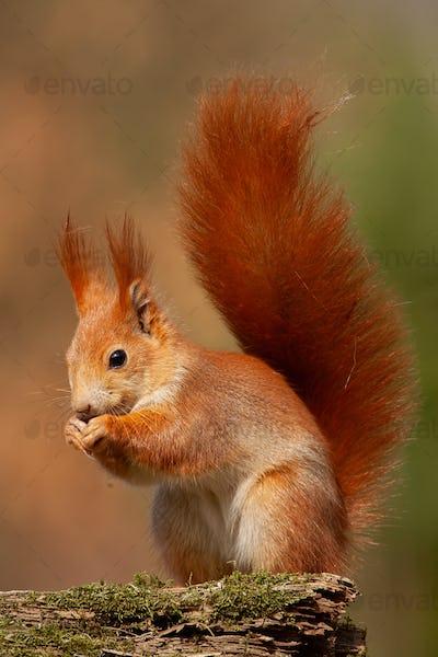 Eurasian red squirrel, sciurus vulgaris, in autumn forest in warm light