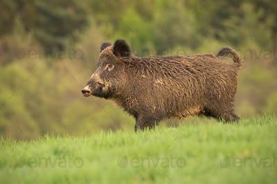 Wild boar, sus scrofa, walking trough a spring meadow