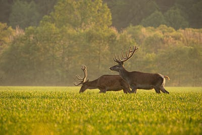 Two red deer, cervus elaphus, at sunset enjoying sunny weather