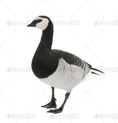 Barnacle Goose - Branta leucopsis (+/- 18 mlonths)
