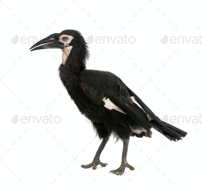 Young Southern Ground-hornbill - Bucorvus leadbeateri (18 months