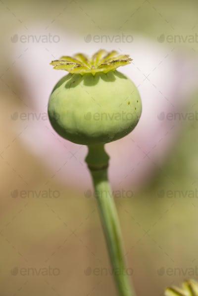 Opium poppy flower seed pod