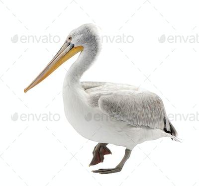Dalmatian Pelican - Pelecanus crispus(18 months)