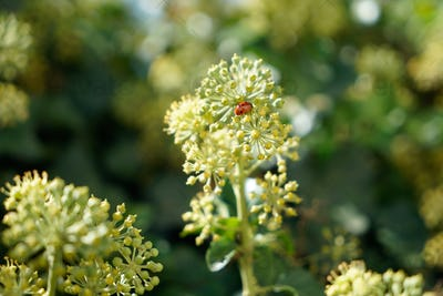 Ladybug on a branch of angelica