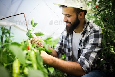 Caucasian farmer picking paprika from his hothouse garden
