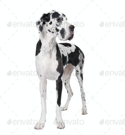Great Dane (4years)