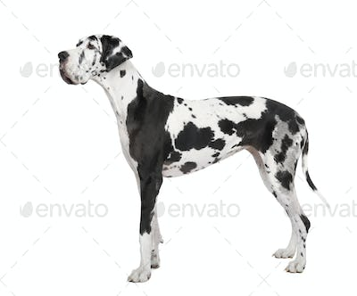 harlequin Great Dane (4 years)