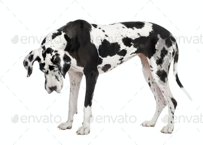 harlequin Great Dane (4 years)
