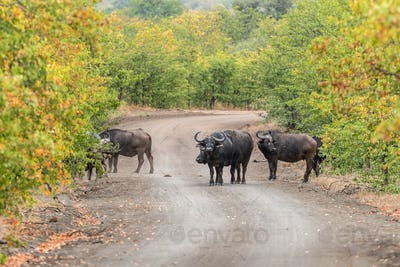 Cape buffaloes, Syncerus caffer, in a gravel road