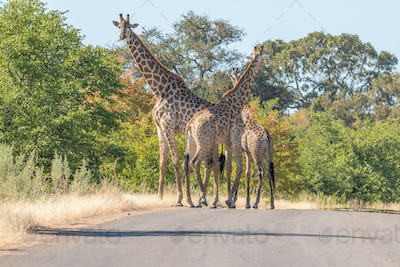 Three South African giraffes in a road