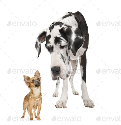 harlequin Great Dane (4 years)  looking down at a a  small chihuahua  (18 months)