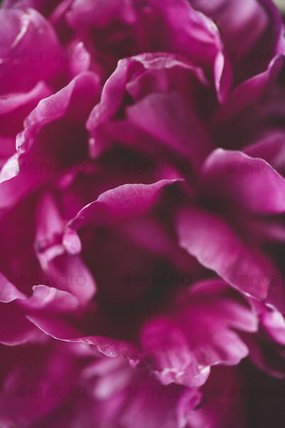 Close-up of purple peony flower. Floral wallpaper